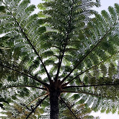 Tree fern Ishigaki