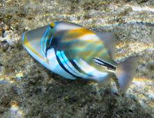 Lagoon Triggerfish Ishigaki.JPG