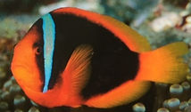tomato clown fish Ishigaki_edited.jpg