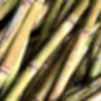 Raw sugar cane Ishigaki