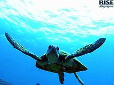 sea turtle - ishigaki.jpg