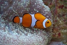 Nemo fish Ishigaki.JPG.jpg