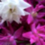 Ishigaki island roses Rosa chinensis