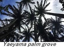 yaeyama palm grove ishigaki.jpg