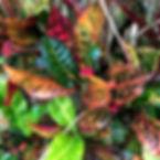 Variegated croton Ishigaki