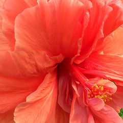 Double-flowered hibiscus Ishigaki
