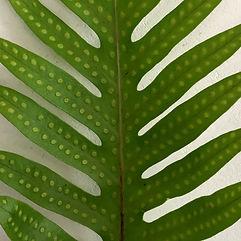 Microsorum scolopendria Ishigaki