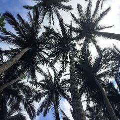 Yaeyama palm trees Ishigaki