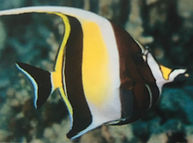 Moorish Idol ishigaki_edited.jpg