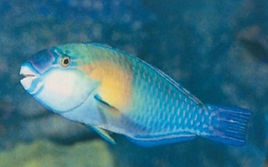 parot fish ishigaki_edited.jpg