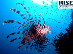 poisson lion - lion fish - ishigaki.jpg