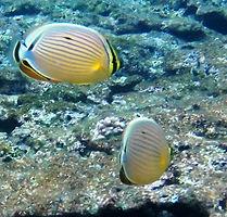 butterfly fish ishigaki.jpg