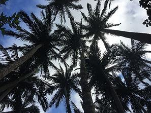 Yaeyama palm grove Ishigaki
