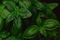 growing-genovese-basil-background-PPLSNM