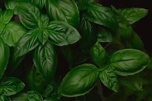 growing-genovese-basil-background-PPLSNM