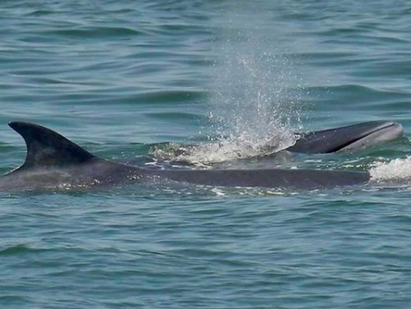 """Upper Gulf of Thailand Bruda whale survey results Found """"New cubs added"""" 3 rare marine animals"""