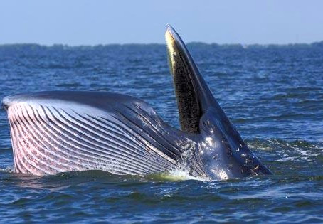 The Bruda Whale was found Continuously. It has been found in 4 Characters as a Thai Wildlife Reserve