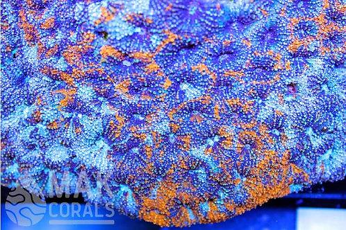 Orange Swirl Echinata
