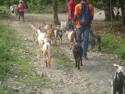 The Goats are Coming! The Goats are Coming!