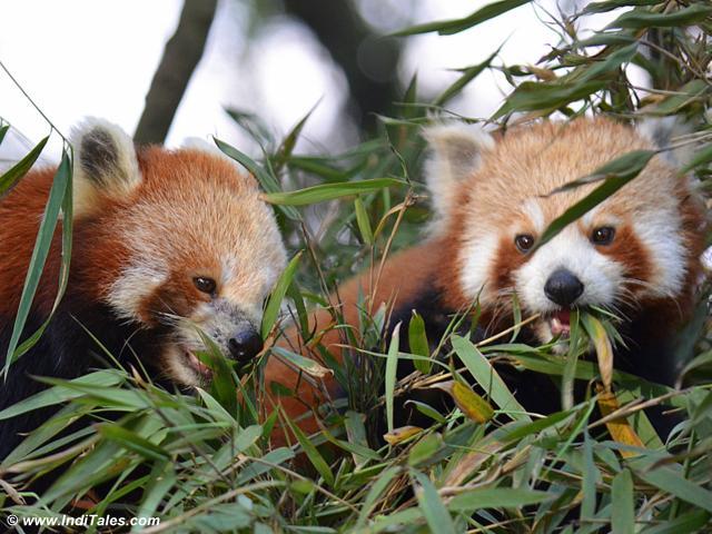 padmaja-naidu-himalayan-zoological-park-