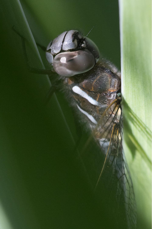 Dragonfly_edited