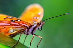 Gulf Fritillary Butterfly 2
