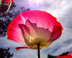 Poppy in the Sun