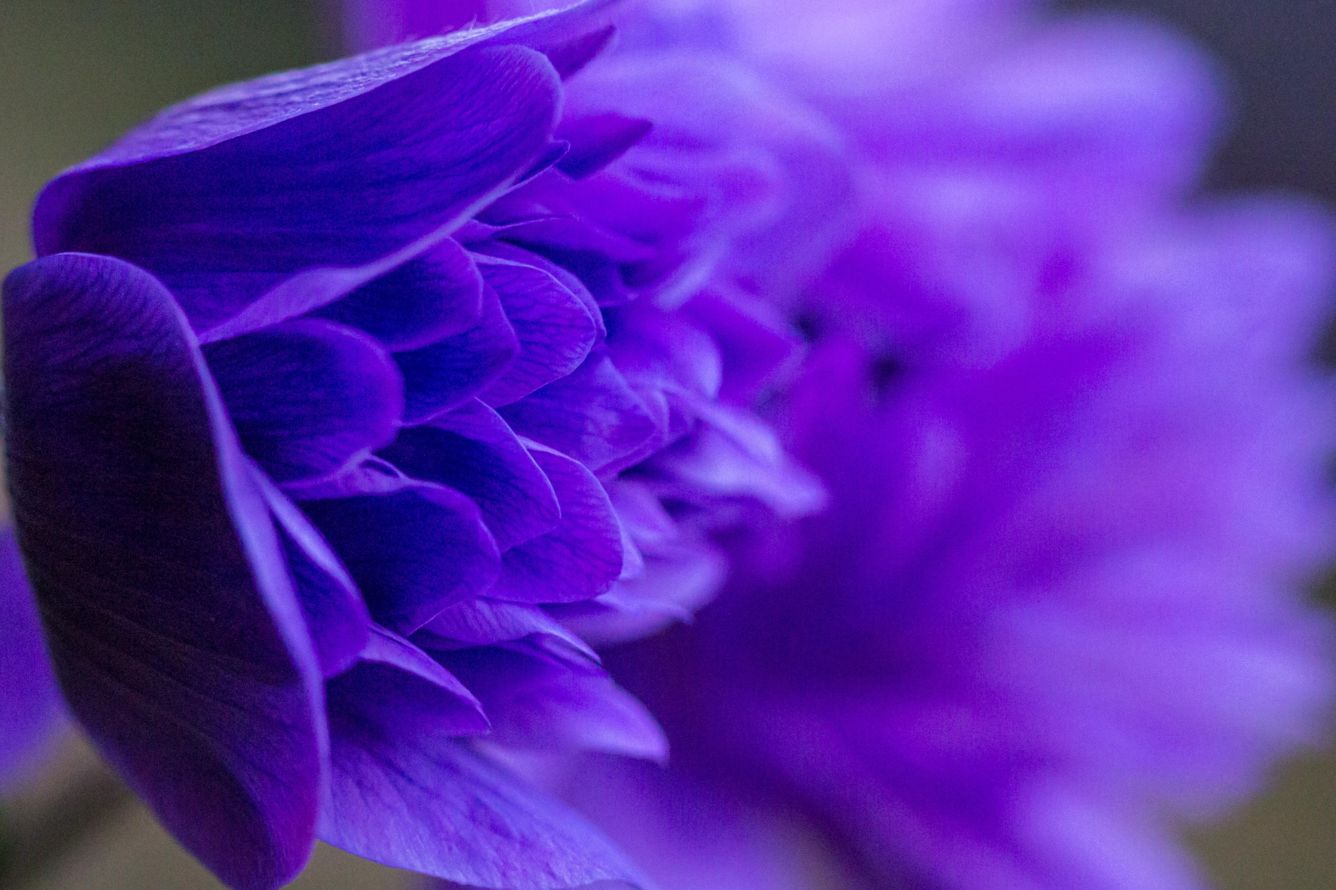 """Anemone """"Wind Flower"""""""
