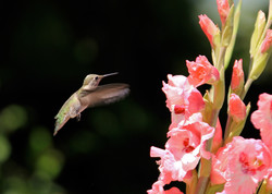 hummer+with+gladiolus+(3rd+prize)_edited