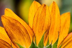 Golden Sunflower Petals