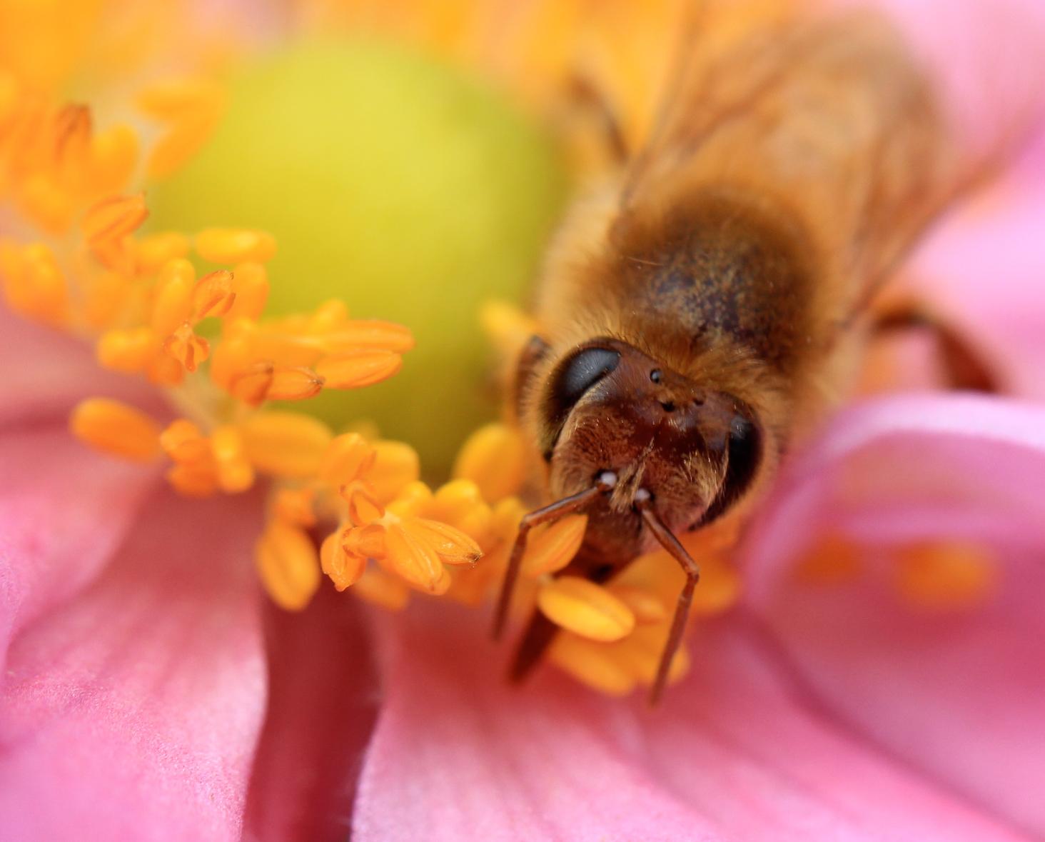 Honeybee_edited