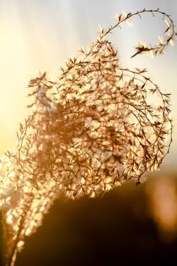 Golden Grass Seeds