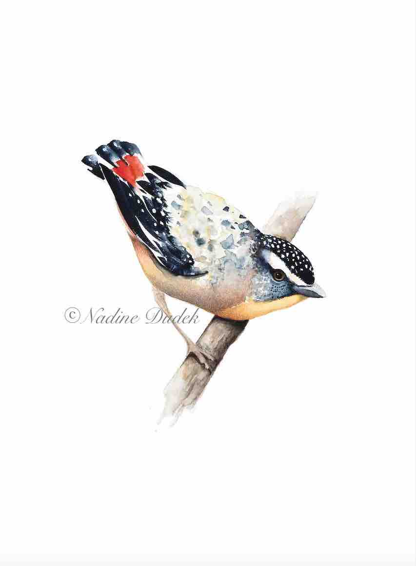 Pardalote for web