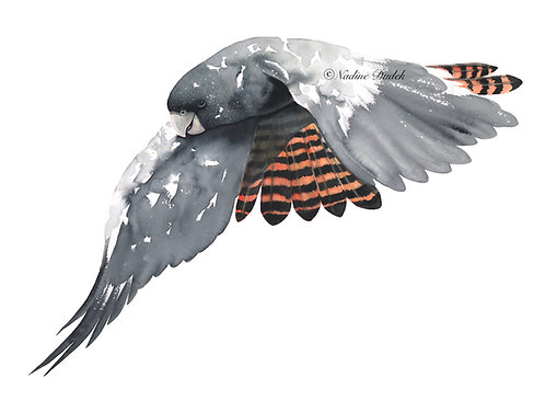 'Flight of the Red-Tailed Black Cockatoo' Ltd Ed Giclee Print 5/60, unframed A2