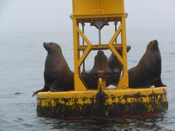 sea lions on bouy 002