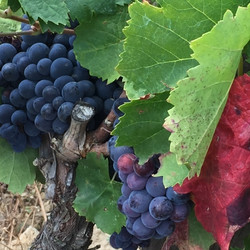 Spain 2017 Grapes