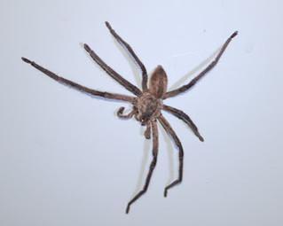 Drunken Spider