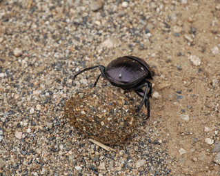 Dive Bombing Dung Beetles - Scariest Animal in Africa??