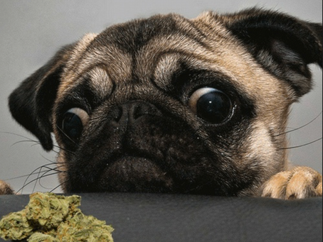 Why Pols are Pushing Pot for Pets