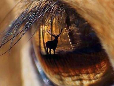 The Deer Musk
