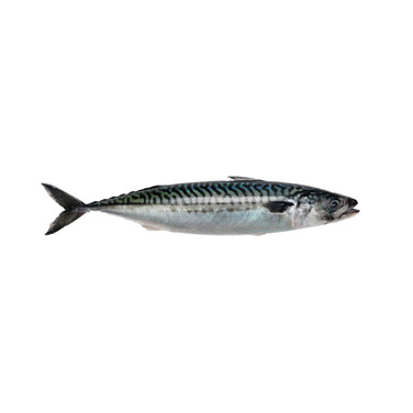 MACKEREL WHOLE ATLANTIC - 300/500g UK