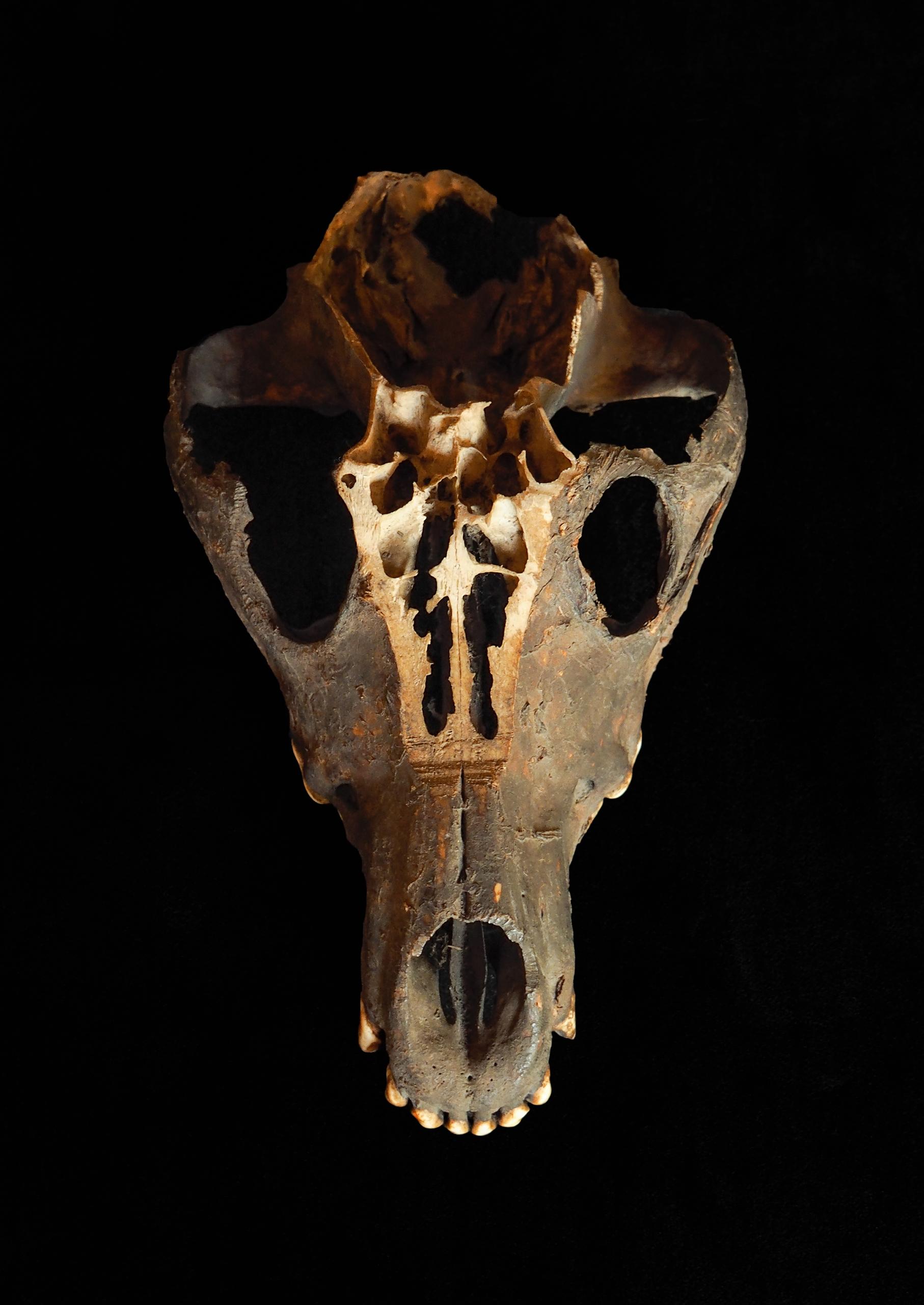 魔除けに使われた狼の頭骨
