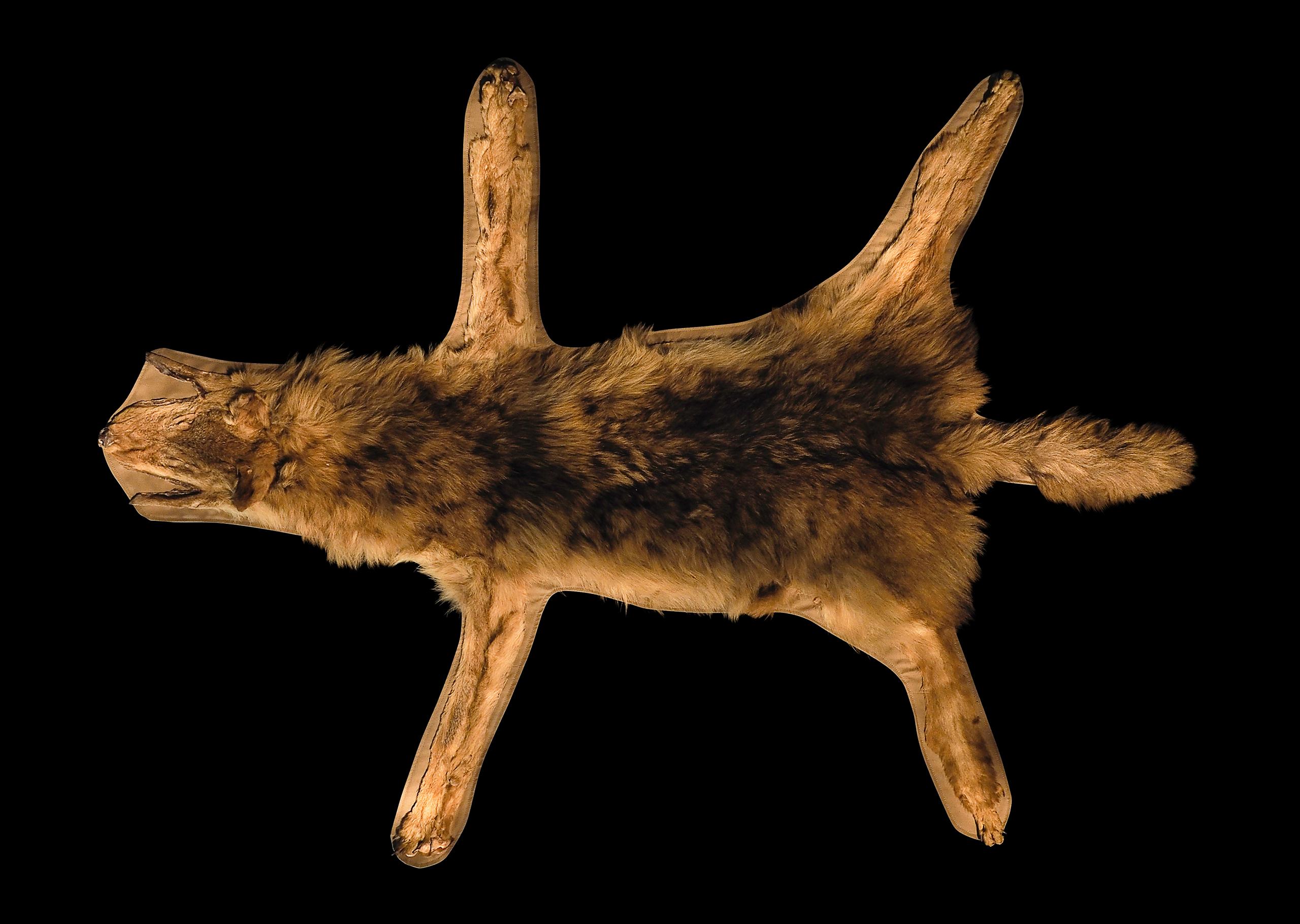 ニホンオオカミの毛皮