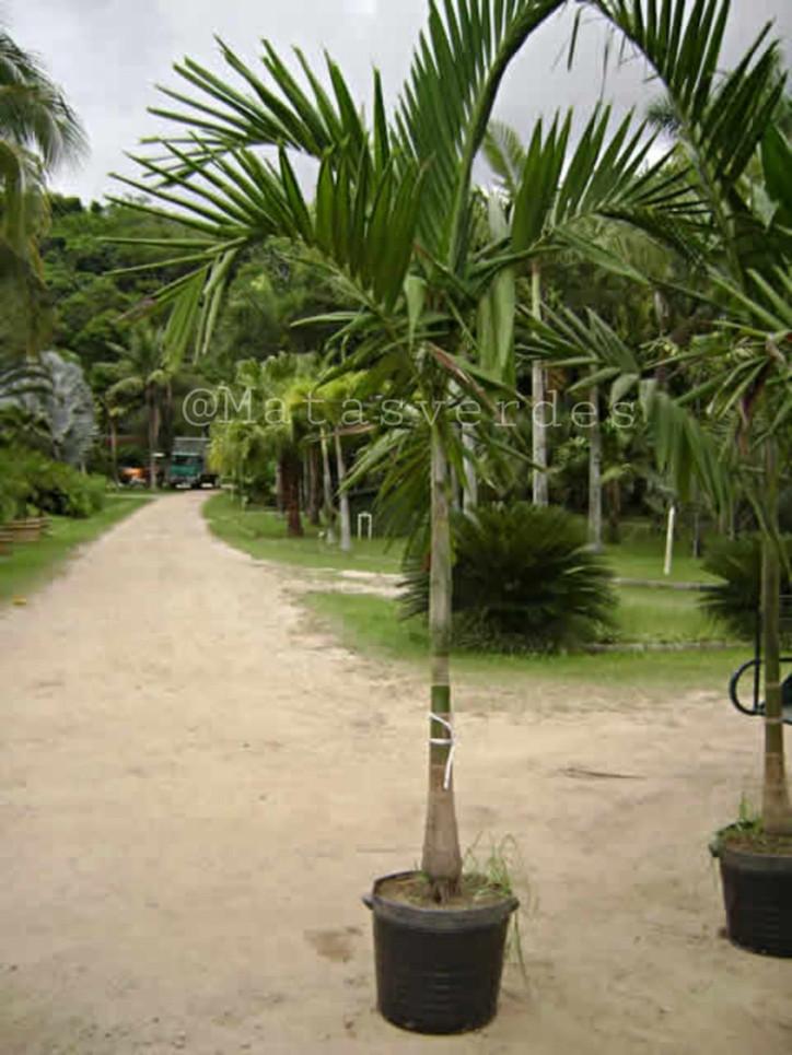 Palmeira Imperial.jpeg