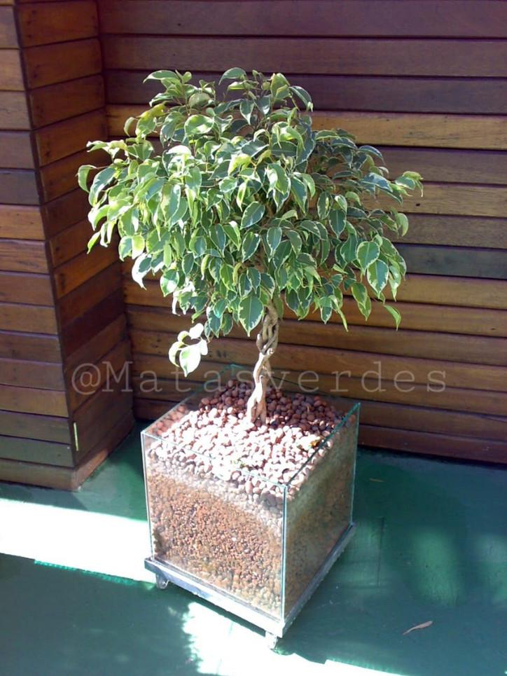 Ficus no vaso de vidro.jpeg