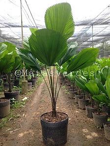 Palmeira Licuala.jpeg