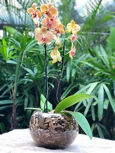 Arranjo com Orquidea laranja no vaso de