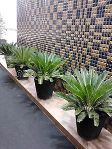 Palmeira Cica.jpeg
