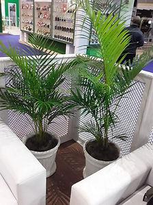 Palmeira Areca no vaso canelado.jpg