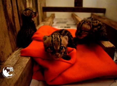 Suivez les petits ocelots rescapés de Yakusinchi 🇫🇷 🇬🇧